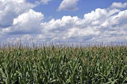 DuPont cornfield