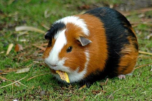 Chemistry World blog » Guinea pig poop power