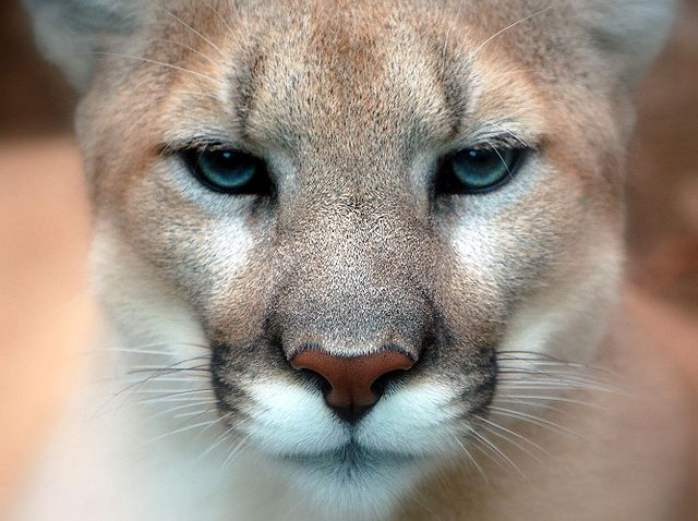 The face of a mountain lion. Released by Digital Art here: http://www.flickr.com/photos/digitalart/ under CC-BY licence
